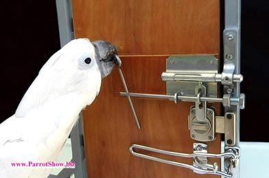 Cockatoo picks locks