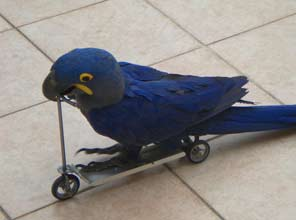 Parrot scooter