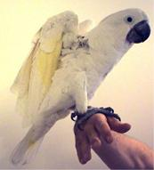 Umbrella Cockatoo, Mark Steiger et ses perroquets, cacatoès
